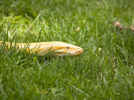 Albino Python slithering in the grass, making people nervous.