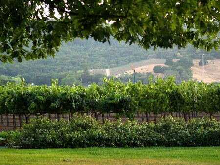 A tree frames the shot of a vineyard on the next hill over.