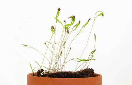 Seedling herbs growing in a very small pot.