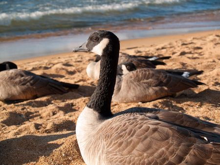 Close view of a goose, looking intently and nervously at me. Stock fotó