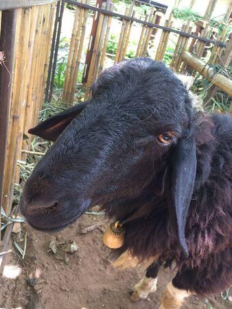eye: Black sheep in fenced area Stock Photo