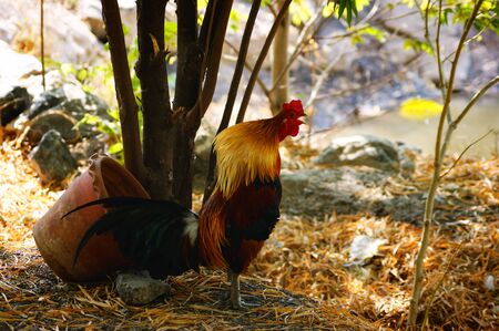 bantam hen: chicken