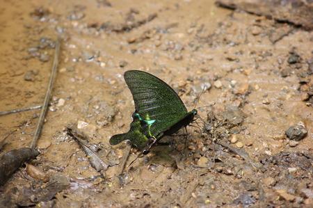 kaeng: butterfly in Kaeng Krachan Stock Photo