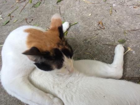 calico cat: Calico cat lying on floor