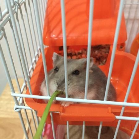 Dwarf hamster eating water morning glory leaf