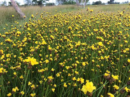 Tall  yellow-eyed grass beside rice field Stock Photo