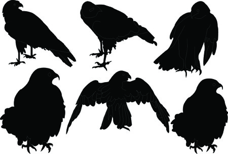 goshawk: falcon collection - vector