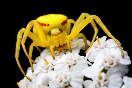 Macro of a yellow spider on a white flower photo