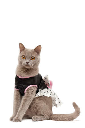 Lilac british shorthair cat with black and white dress photo