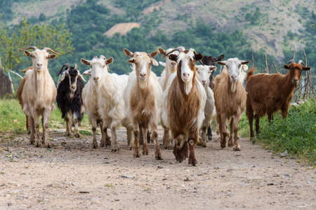 Herd of domesticated goats in mountain village photo