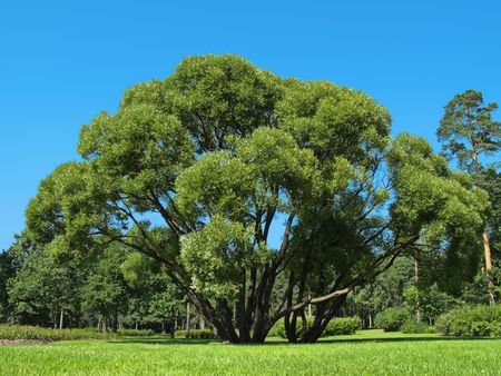 branchy: Branchy tree on a glade in the park