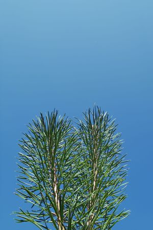 Two piny branches on background of the blue sky Stock Photo