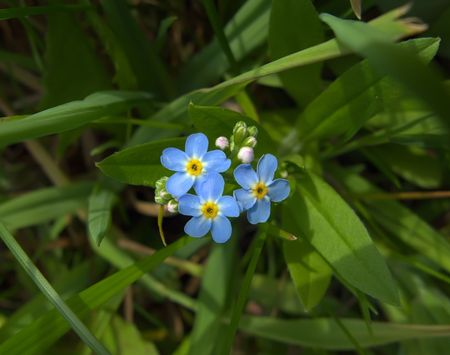 Forget-me-nots in a grass, close-up