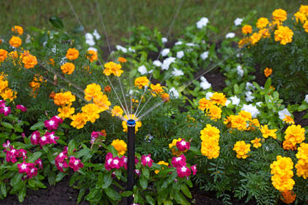 irrigation of flower beds, park infrastructure, grass, flowers, drop, droplet, marigold, Waller's balsam 免版税图像