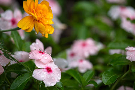 irrigation of flower beds, park infrastructure, grass, flowers, drop, droplet, marigold,  wallers balsam,  yellow,  pink 免版税图像