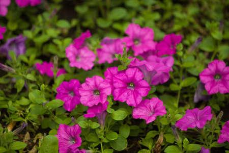 Petunia, Flower bed in the public garden closeup