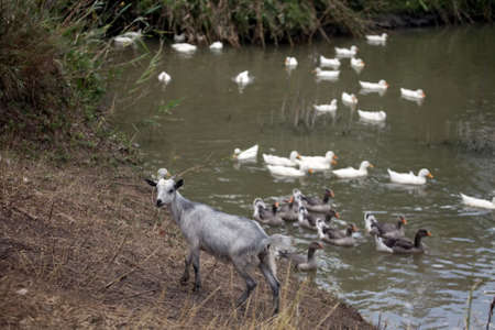 Young gray goat stays near the pond, ducks swims in the water
