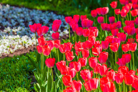 Red tulips on the lawn closeup in the city park, elements of urban infrastructure, accomplishment of territory