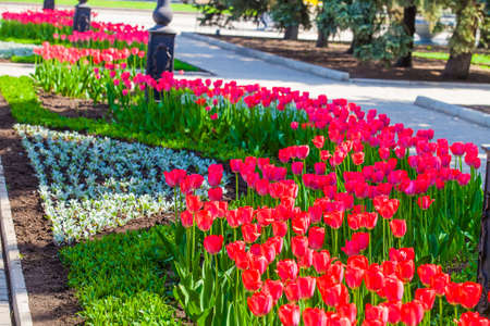 Flower beds with red tulips on the lawn in the city park, elements of urban infrastructure, accomplishment of territory