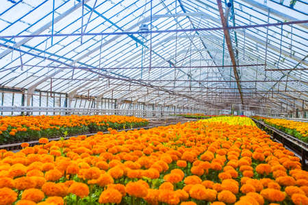 Greenhouse with marigold flower shoots for flower beds in public places Reklamní fotografie