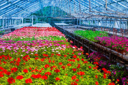 Greenhouse with red and pink flower shoots for flower beds in public places