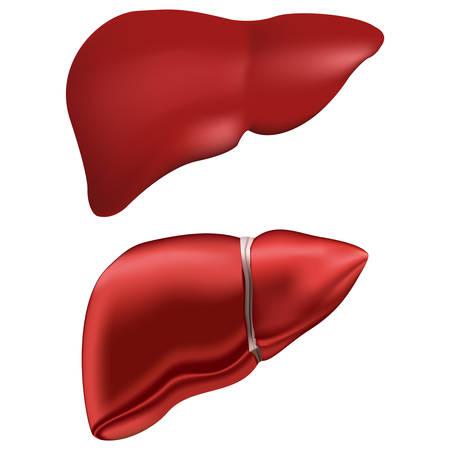 Realistic human liver.
