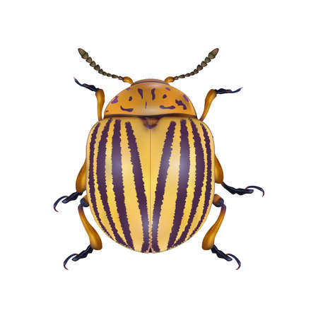 Colorado beetle isolated on white backgtound. Photo-realistic vector illustration.