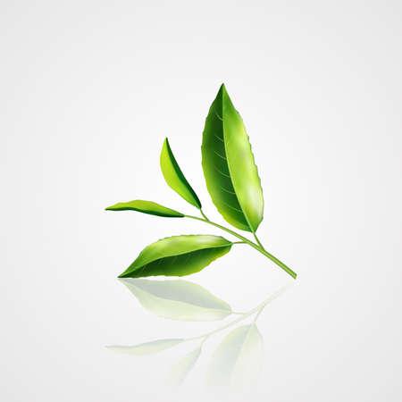 Realistic green green tea. Sprig of tea. Vector eps10.