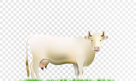 White cow isolated on transparent background realistic vector illustration.