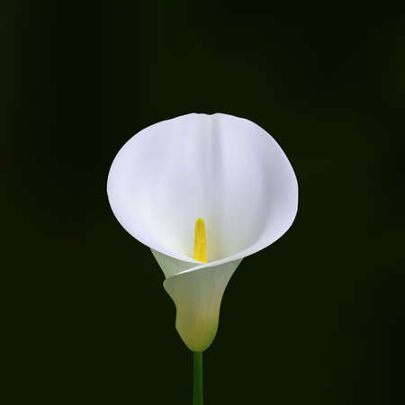 Realistic Arum Calla Lily. Isolated on a dark blur boke backround. Vector eps10.
