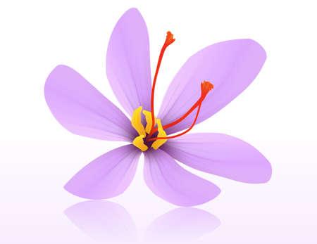 Realistic Saffron Flower purple crocus. Vector eps10