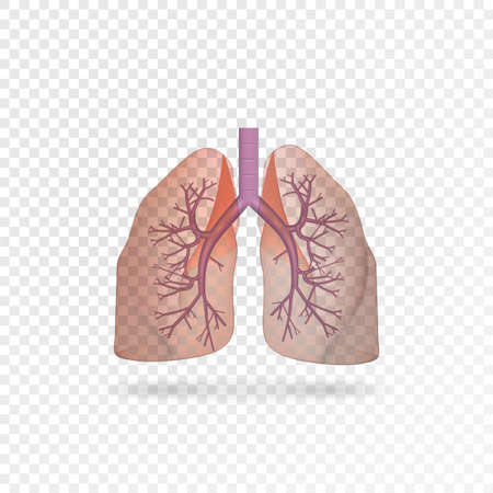 Realistic transparent human lungs. Right and left lung with trachea. Healthy lung. Respiratory system 向量圖像