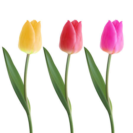 Set of Realistic vector beautiful tulip . Not trace. The blank for your design. Yellow, Pink, Red tulip flower on white background. Spring tulips. Blooming flower