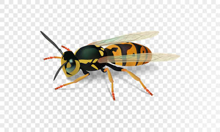 Realistic wasp. Vector illustration eps10