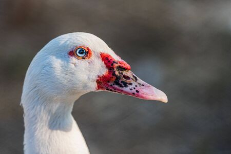 Close up of the head with a white duck