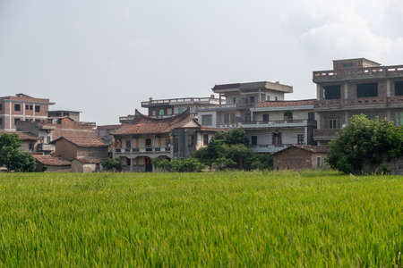 There are green rice fields in the countryside and immature rice