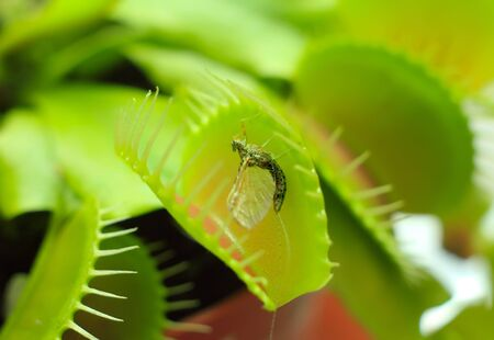 Venus flytrap and the fly