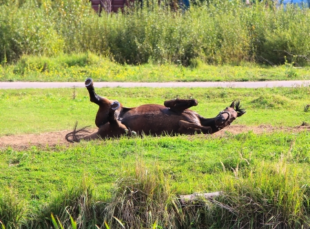 Red horse lying on a grass photo