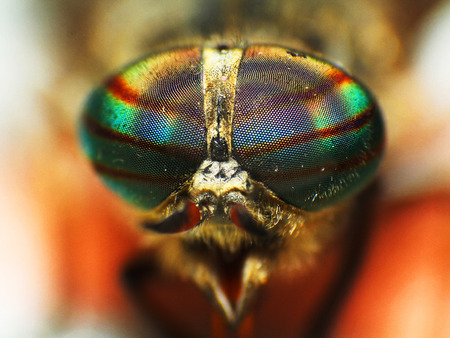 fly: Eyes of an insect. Portrait of a Gadfly Fly. horse fly head closeup