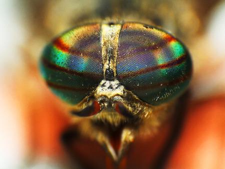 insecto: Ojos de un insecto. Retrato de un tábano Fly. cabeza de caballo de cerca de moscas