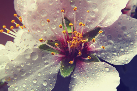 spring almond flowers