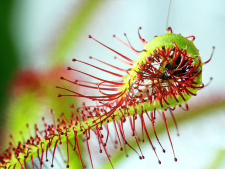 super macro of beautiful sundew (drosera). insect catched by the plant. Floristic abstract background Zdjęcie Seryjne