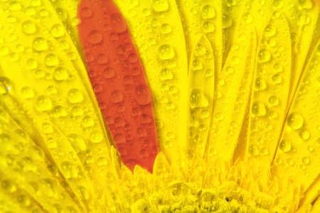abstract yellow petals and one red with droplets of water close up. Macro shot