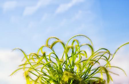 Beautiful sundew (drosera). Nature background