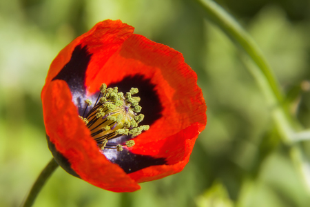 red poppy close up. natural background