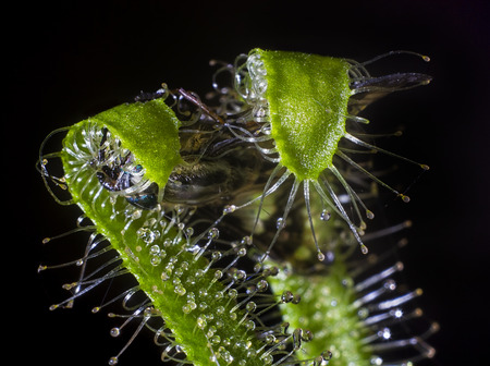 sundew (drosera) catching and eating fly isolated on black background 版權商用圖片