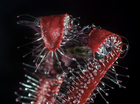 red sundew (drosera) catching and eating fly isolated on black background Zdjęcie Seryjne