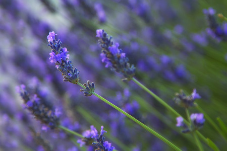 Lavender flowers close up. Natural composition