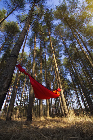 Pine trees and hammock with tent in spring wood. Travel and adventure concept Zdjęcie Seryjne - 109237075
