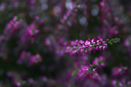 Heather flowers. Abstract background